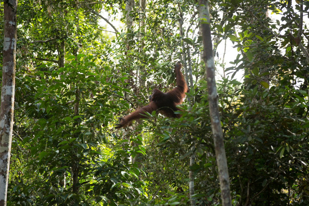 The size of orangutangs means that they slowly move from tree to tree via their long reach and use their weight to bend weaker trunks and branches to form unstable bridges.