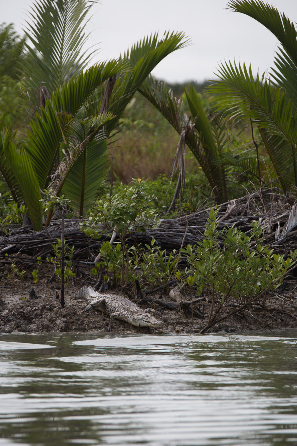 Saltwater crocodiles line the mangrove covered shore