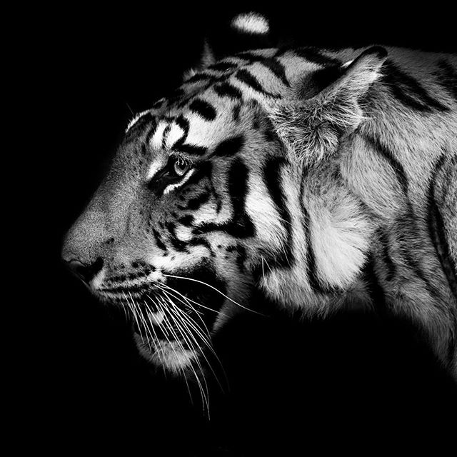 She is the #queen of the #jungle, #nature at its finish. Seeing a #wild #tiger is a sight to behold. This is part of my #wildart series of images. ============ #photoshoot #photography #photooftheday #photoshoot #incredibleindia #india #bandhavgarh #bw