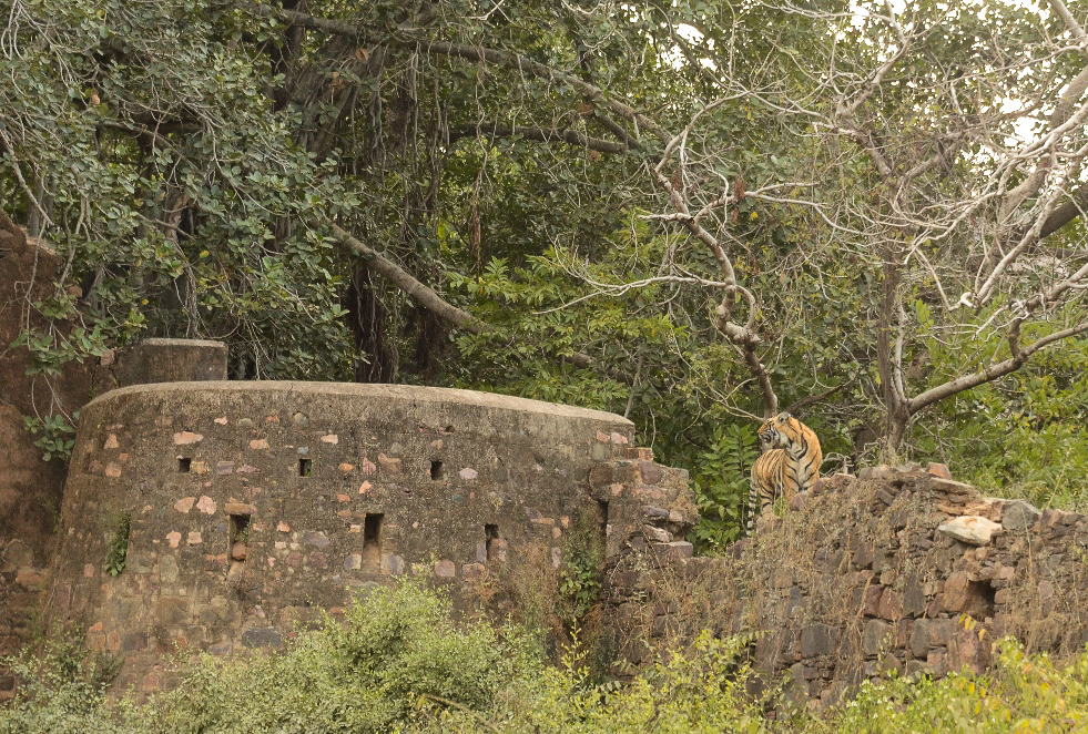 Sub adult Male wondering around ruins of the fort.  Copyright Sharad Sharma (with permission)