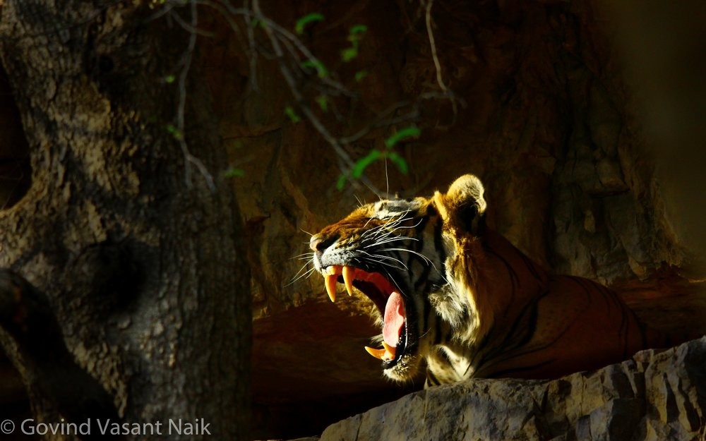 T-6, Male tiger Romeo. In one of the natural caves.