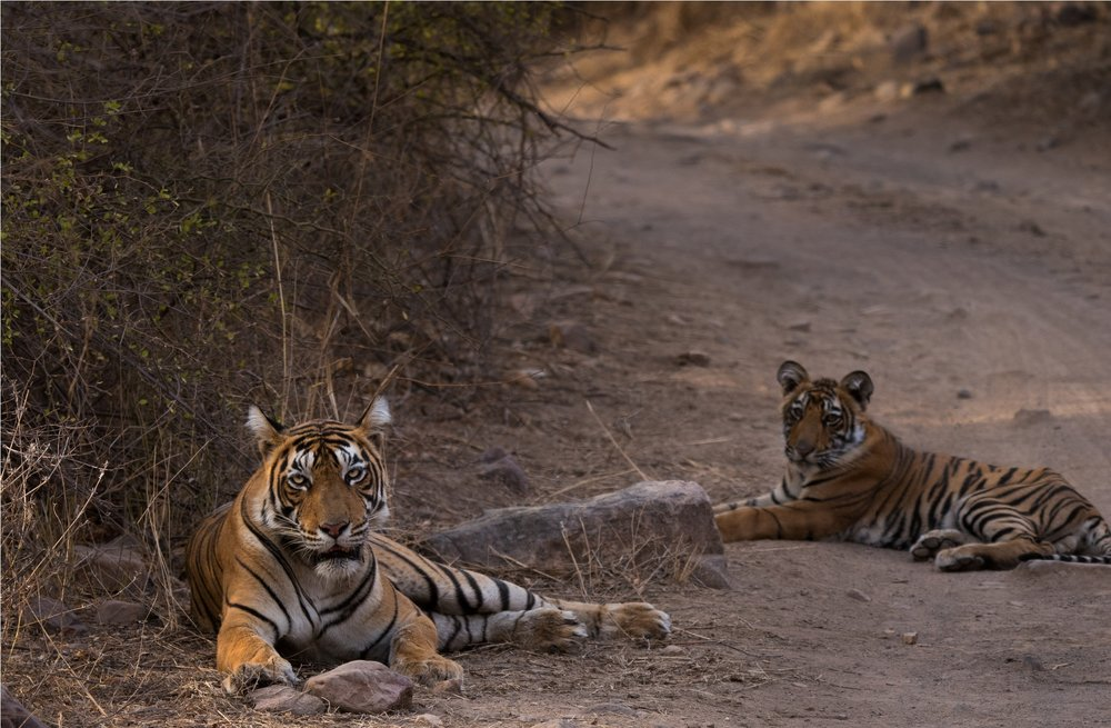 Tigress T-60 with one of her three adorable cubs.