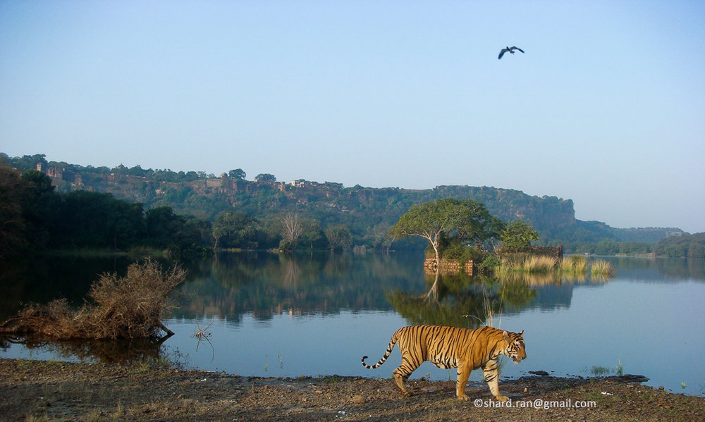 T-28 Star male near Padam talao and its island with the great Ranthambore fort in backdrop. Copyright Sharad Sharma (with permission)