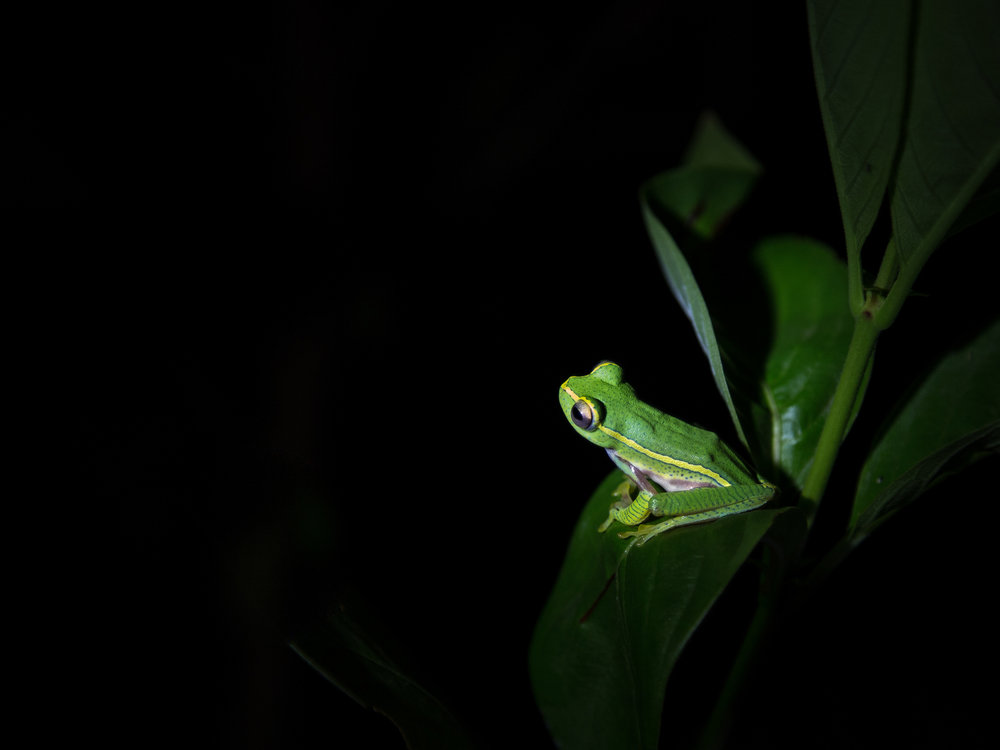 Yello-striped tree frog
