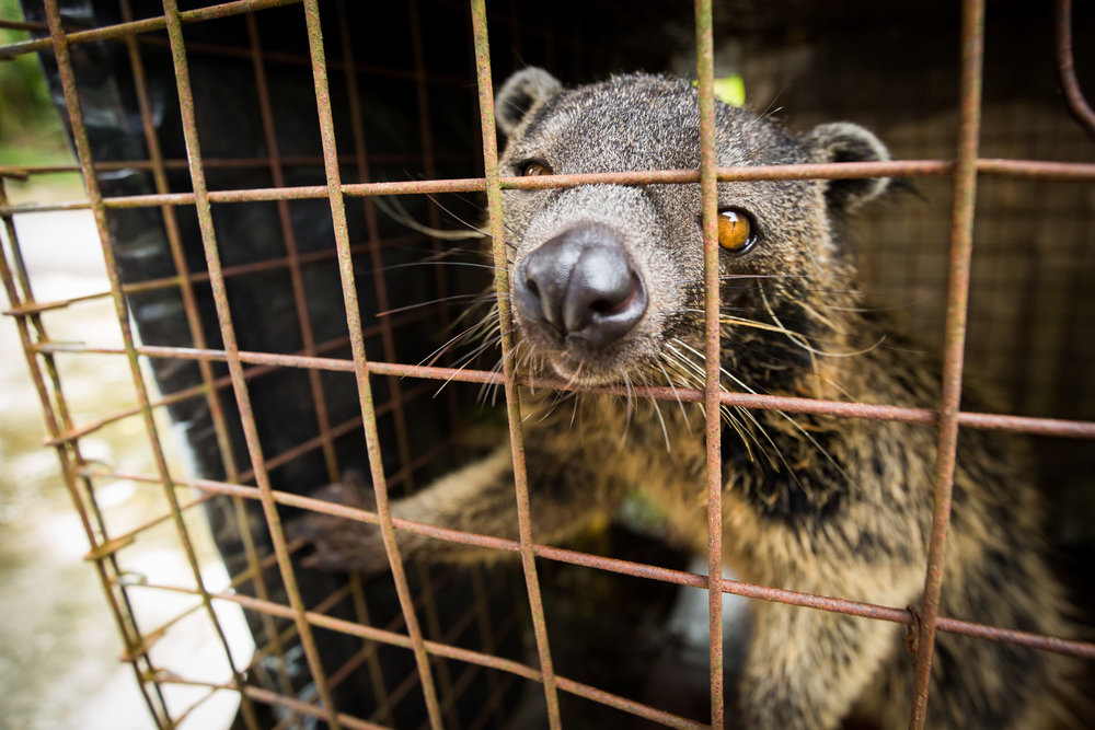 I found this bearcat caged in a small village on the border of Malaysia and Indonesia in Borneo. The villager bought him off some hunters a couple of years ago and has kept him as a pet ever since. If caught he would face fines far beyond his means, but the villager can not bring himself to part with him.