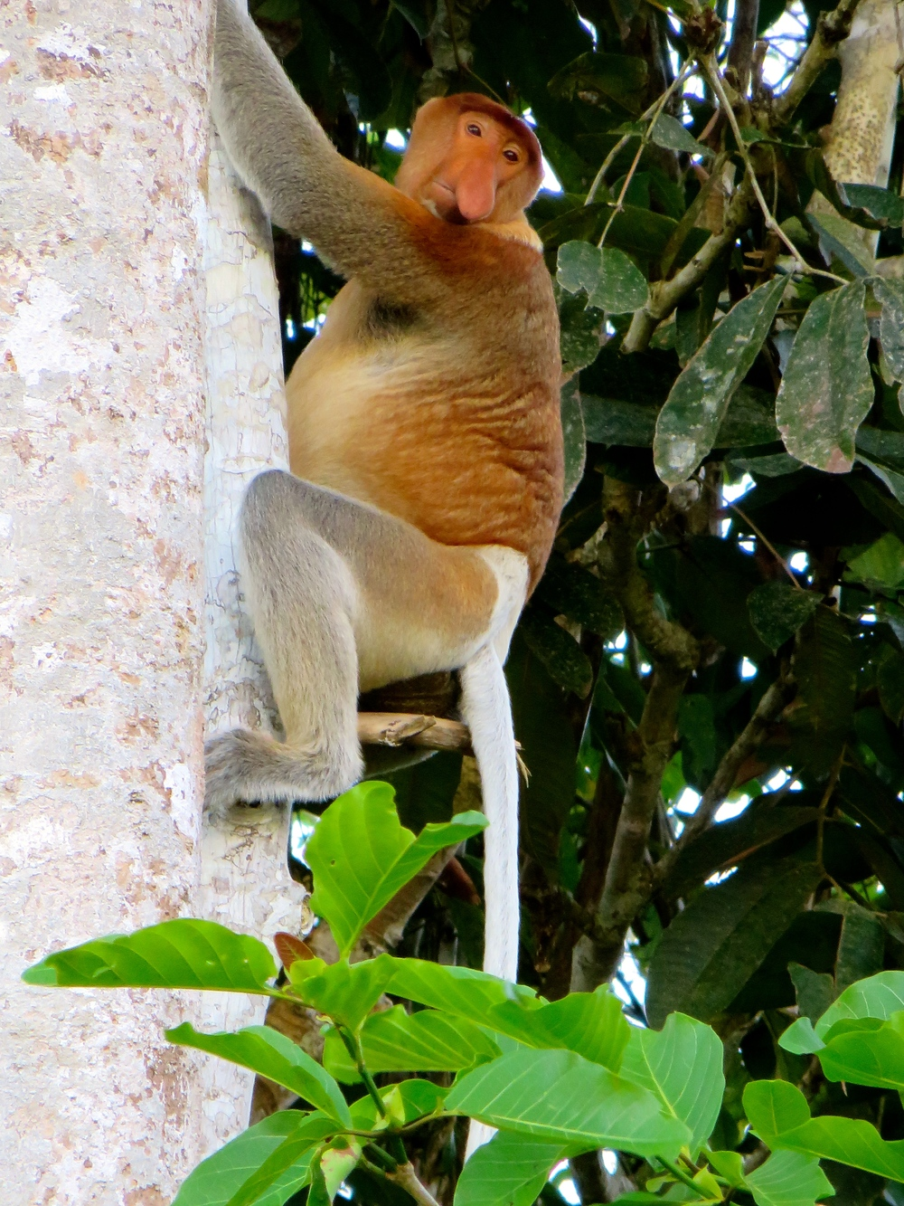 Look at this guy!!!!  This is a Proboscis monkey - easily identifiable with his robust nose!