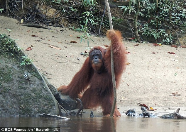 Another stolen image.  There was a lot of talk about orangutans using branches to measure water depth.  Exhibit A.