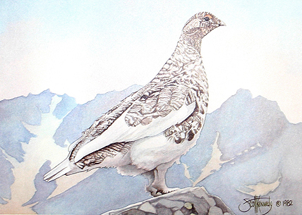 """Ptarmigan""  - Only 4 prints available in this   limited edition. Image size: 5""x7"" f  rom $35."