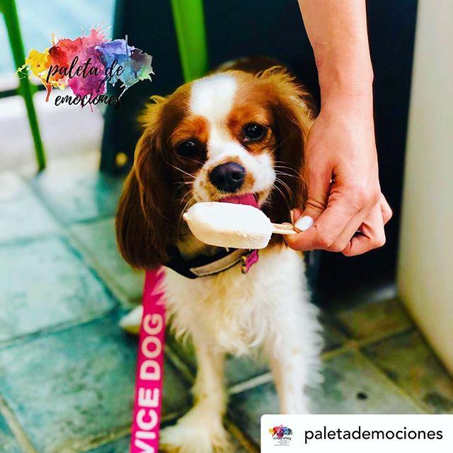 Las mascotas son las musas de La Paletería💗🐶👑 Repost de @paletademociones   🍦🐶My mom bought me special dog ice cream from @lapaleteriacr   - - - - -    🍦🐶Mi mamá me compró helados especiales para perros de @lapaleteriacr.  #thecavalierway #cavsofinstagram