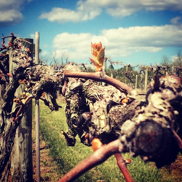 The buds in our Norton vineyard are breaking! We are hoping for a good harvest this year so we can make more White Norton for you 😊🍷