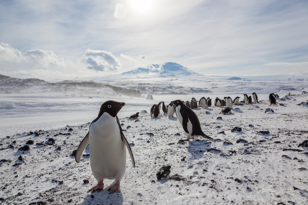Adélie penguins in Cape Royds, home to the southernmost colony of penguins. Credit: Andy Isaacson
