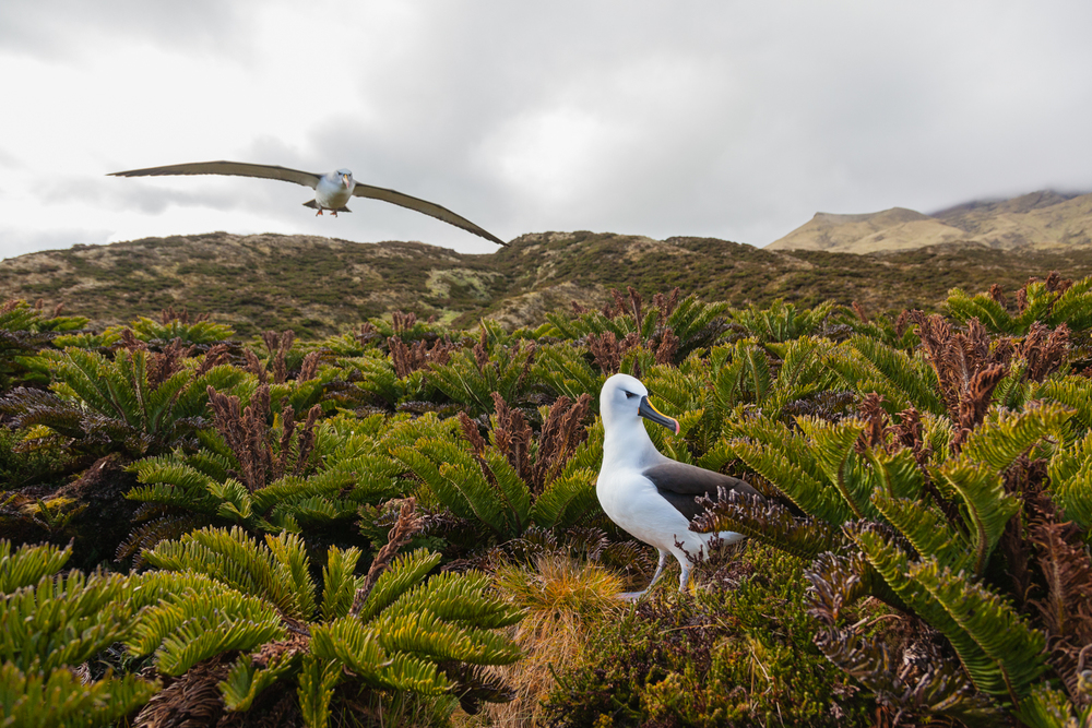 Yellow-nosed albatrosses, named for gold streaks on their bills, nest on the island. Credit: Andy Isaacson