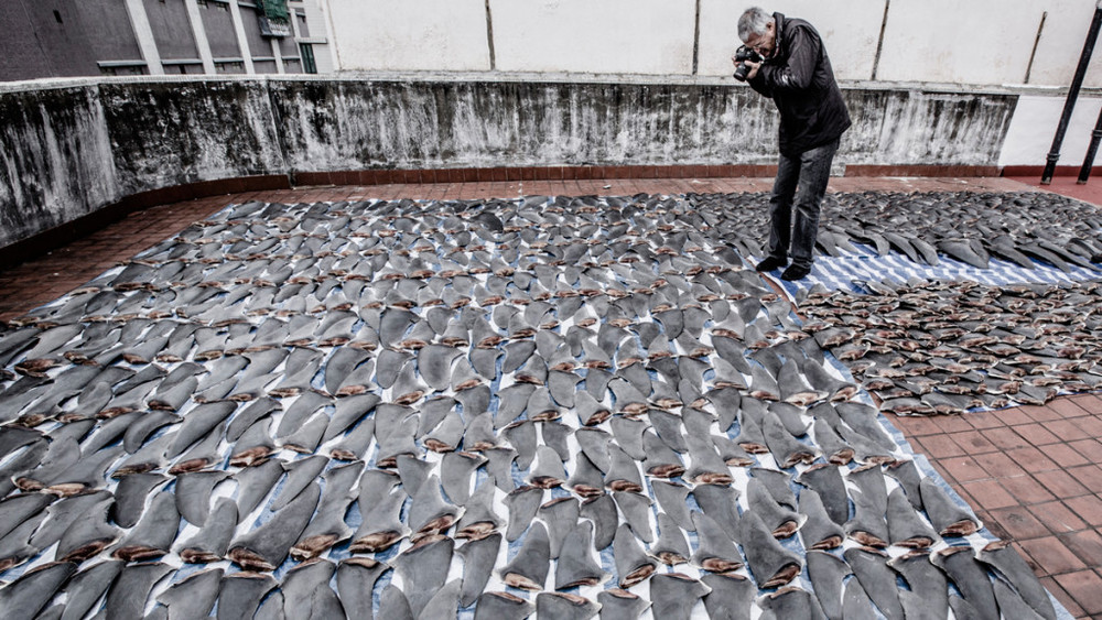 Psihoyos documents shark fins drying on a rooftop in Hong Kong. Credit: Shawn Heinrichs