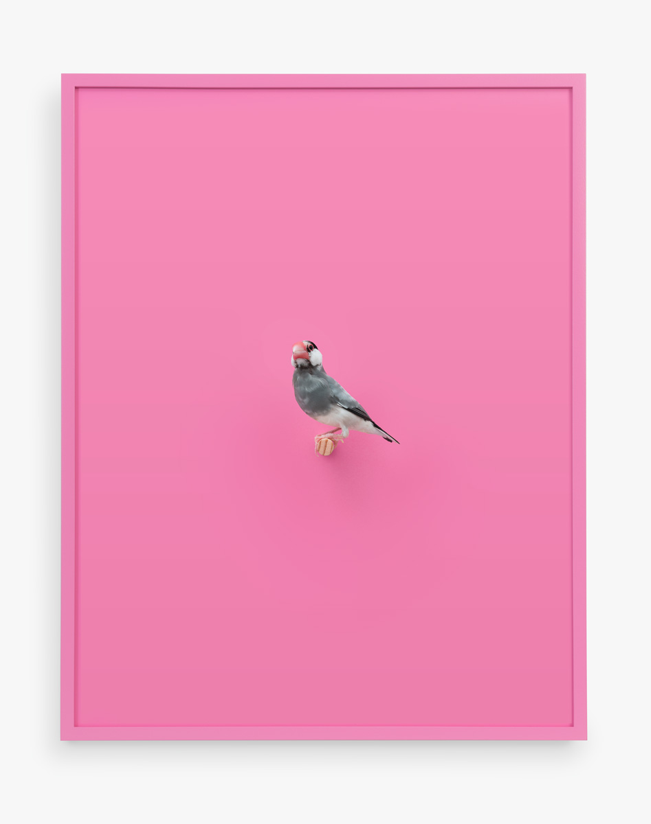 JavaRiceFinch_BubbleGum_Handal_Web.jpg