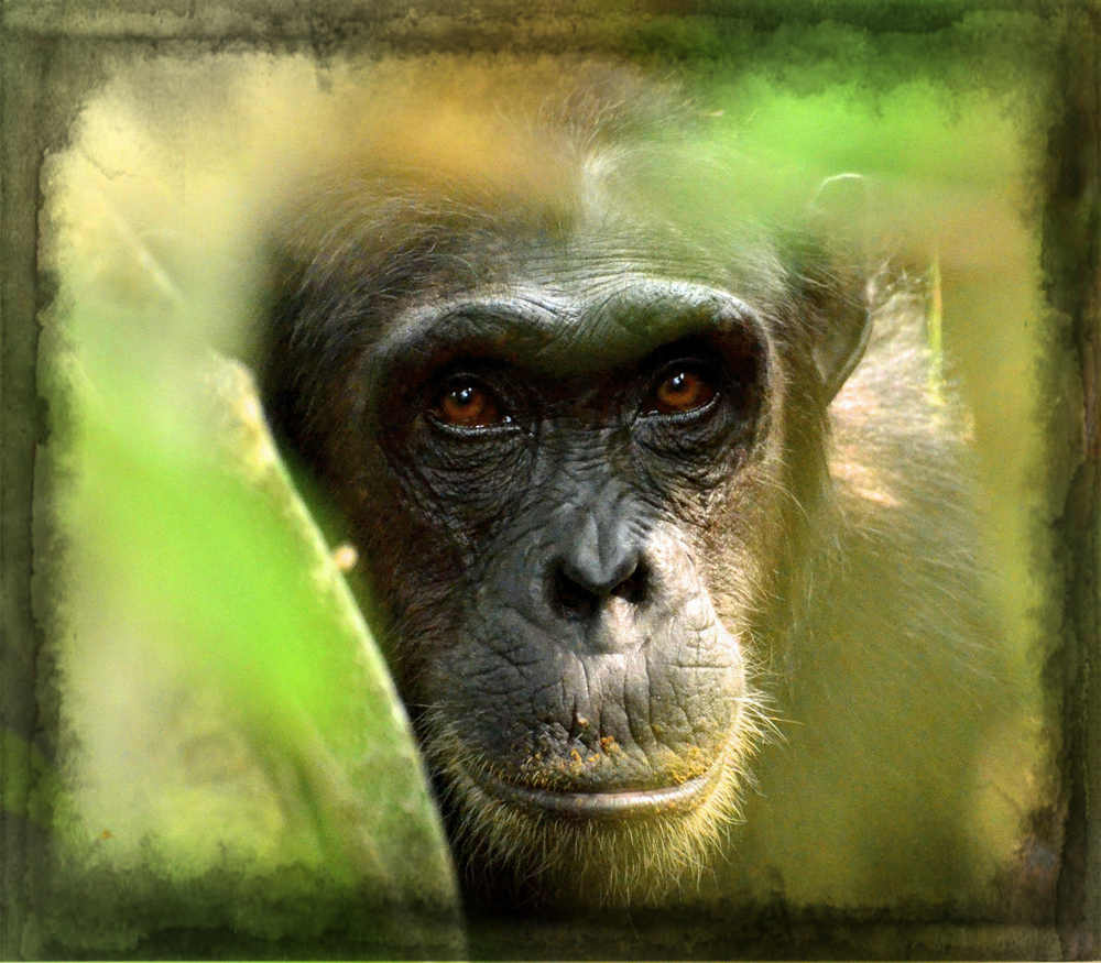 new-nature-foundation-chimp.jpg