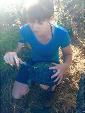more tortoise morphometrics