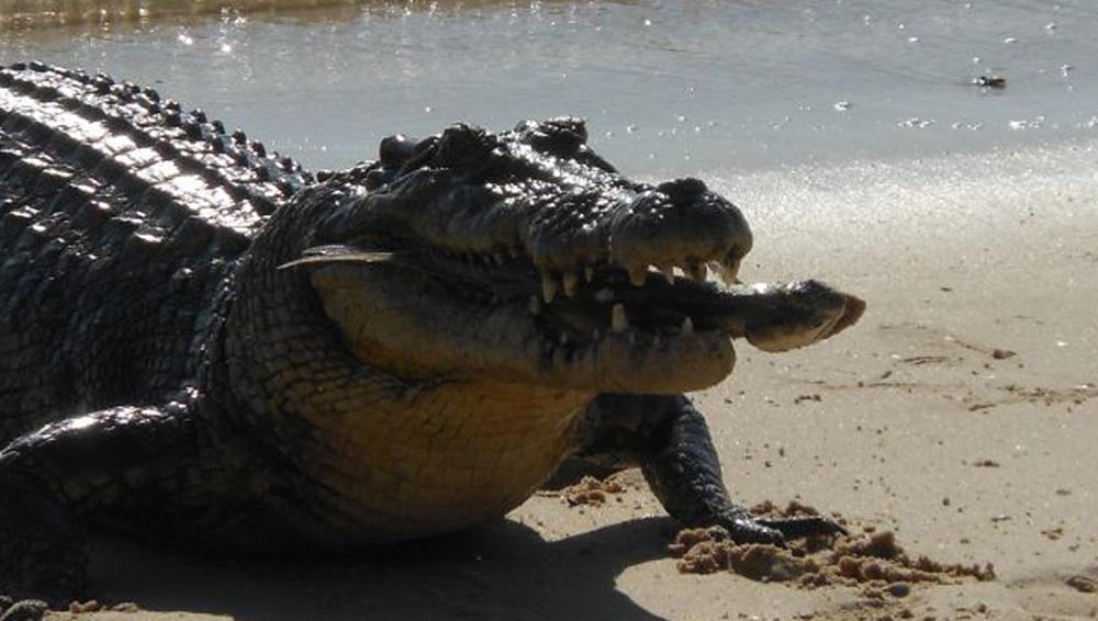 Liam McDonnell_crocodile