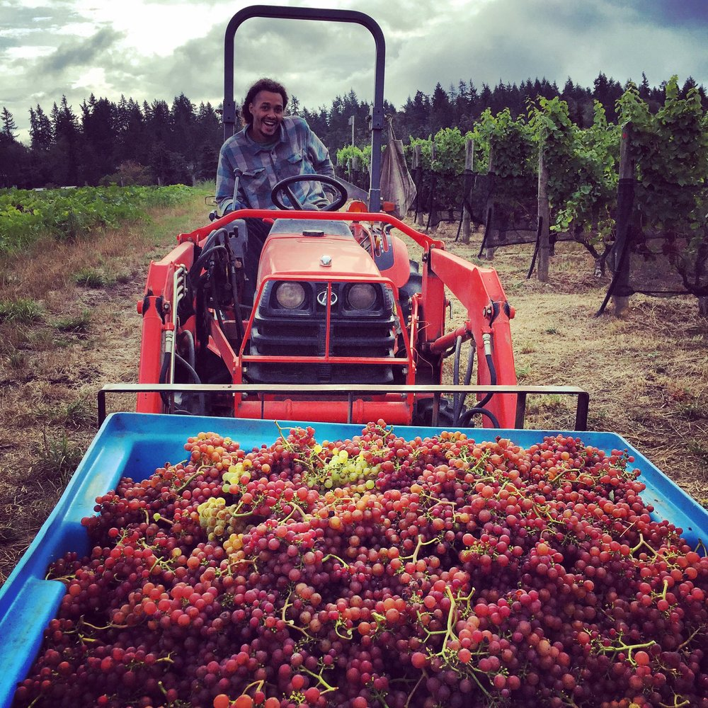 Mike and the vineyard crew bringing in the first box of grapes for the 2016 Vintage!