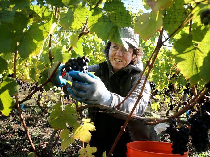 636432339344537011-Wine-harvest.jpg