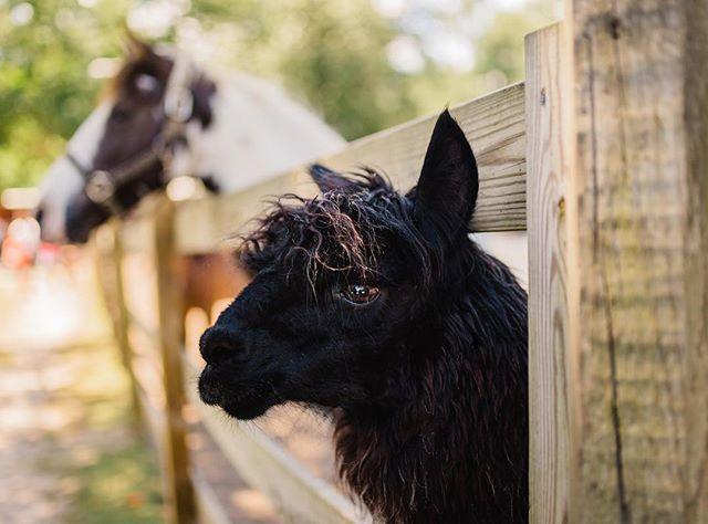 stopped by the funny farm 🐴❤️#funnyfarm #alpaca