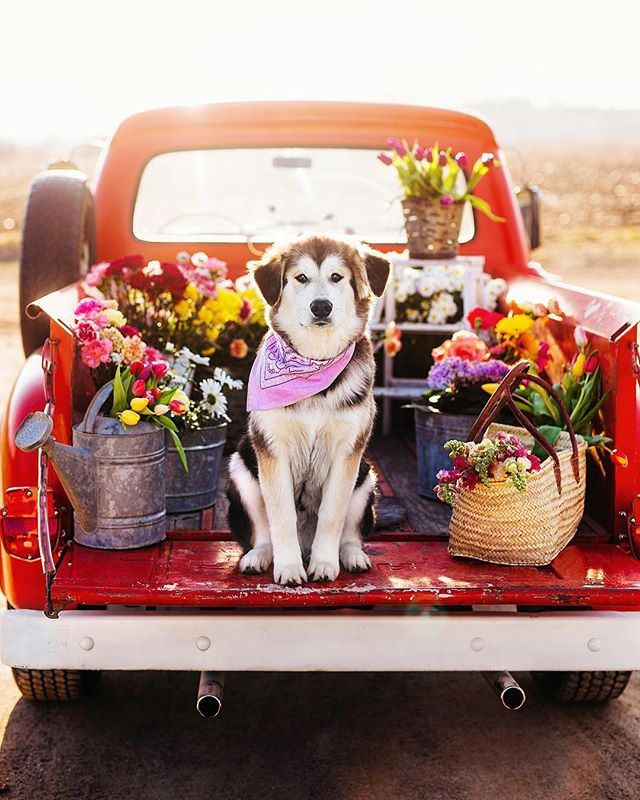 5 months old and I couldn't have dreamed of a better dog. The sweetest most gentle fluffy boy. #vintagetruck #fordf100 #flowertruck #huskypuppy #goberian #goldenretrieverpuppy #freshflowers