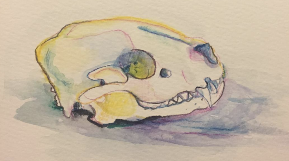 Raccoon skull - Watercolor - Becky Jewell.png
