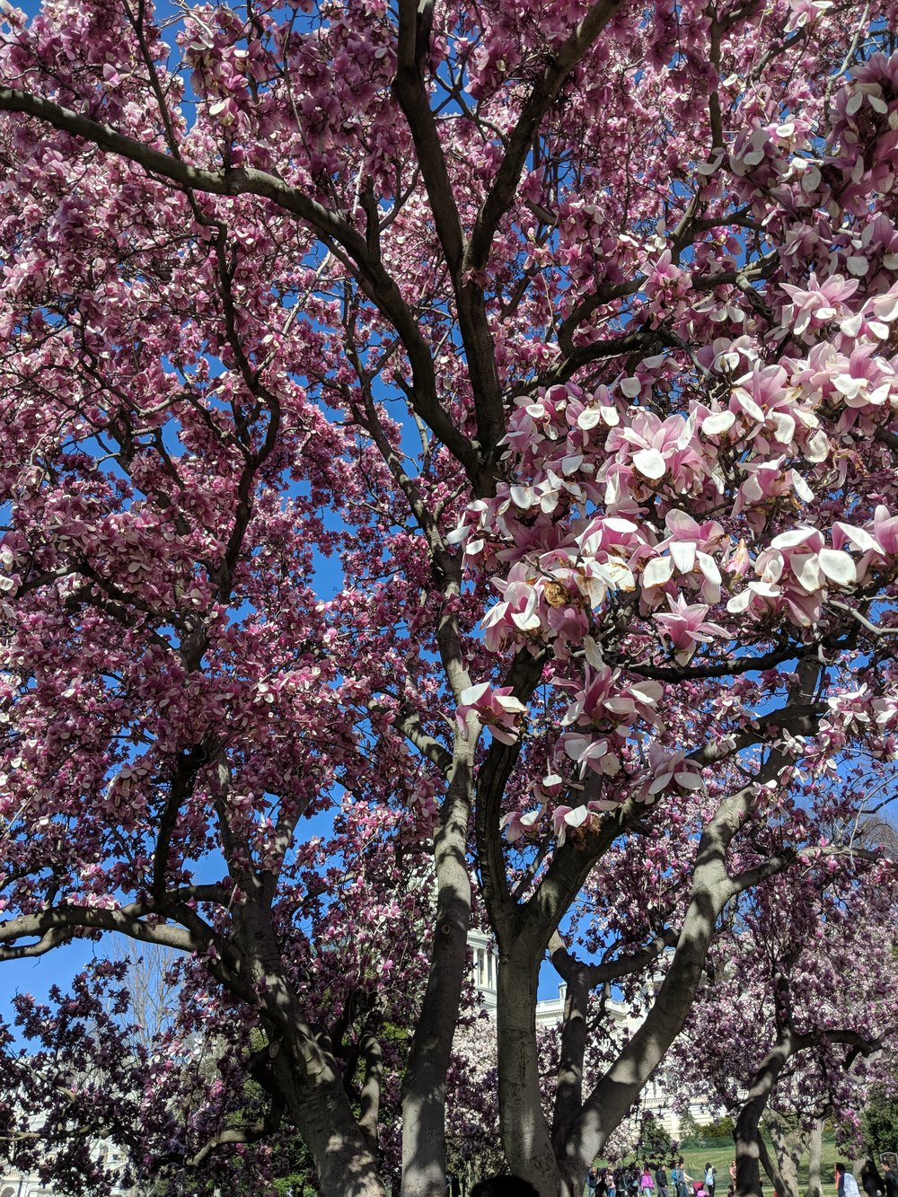 washington dc cherry blossoms 2018 cherry blossom festival.jpg