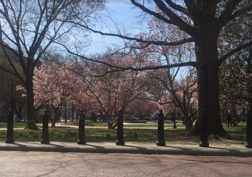 cherry blossom trees near the white house.png