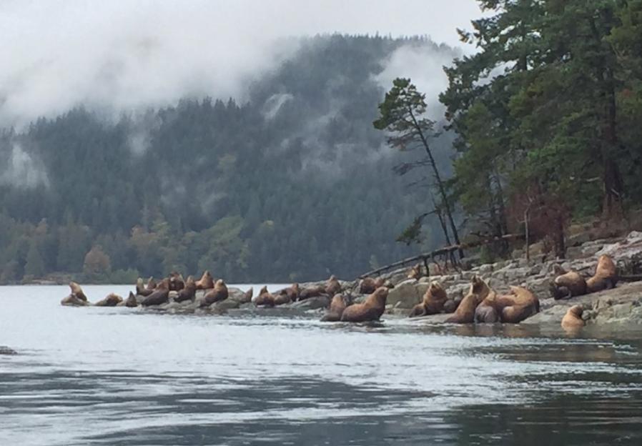 Upper Vancouver Islands Sea Lions.png