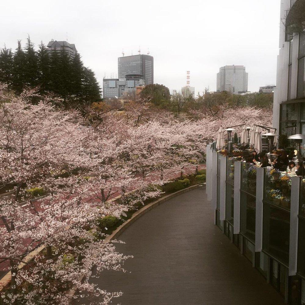 roppongi tokyo cherry blossoms.JPG