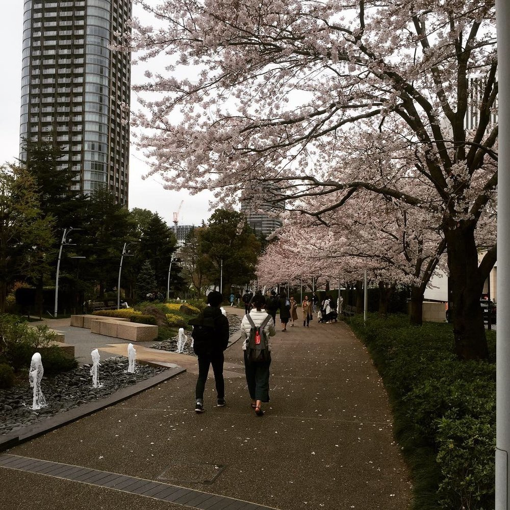 roppongi tokyo cherry blossom path.JPG