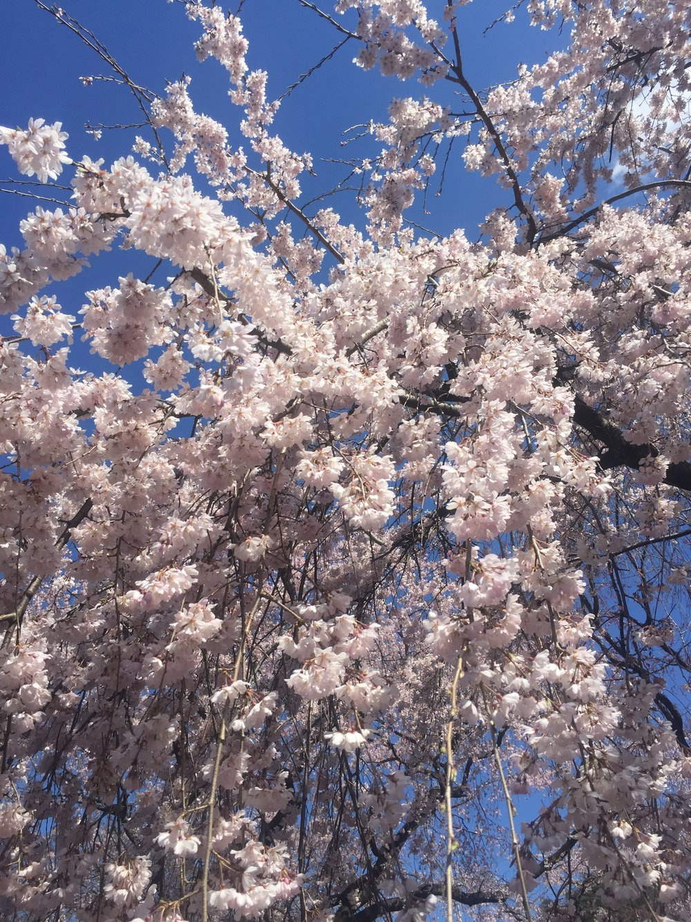 shinjuku cherry blossoms tokyo japan.JPG