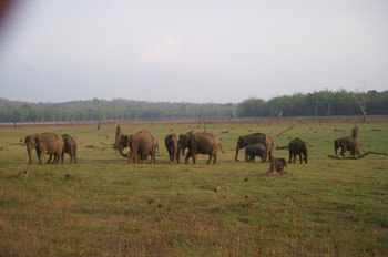 Elephant herd in degraded and fragmented habitat in summer