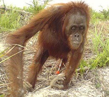 Sick orangutan rescued from palm plantation  (photo from Wildlife Extra)
