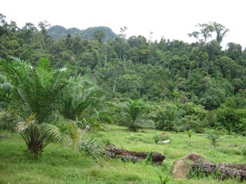 Palm planted to forest edge with no buffer area (photo courtesy of Elephant Managers Association)