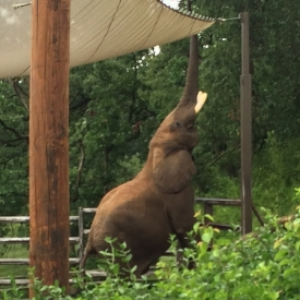 Vanessa snapped a shot of African bull Bud enjoying some fresh branches outside of his exhibit perimeter during zoo day at Grant's Farm
