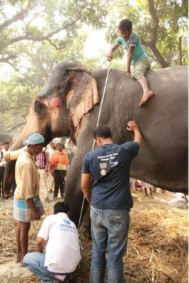 Mahouts take measurements on a bull to estimate weight