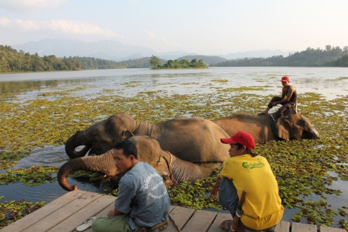 Elephants bathing with their mahouts at the ECC in Laos