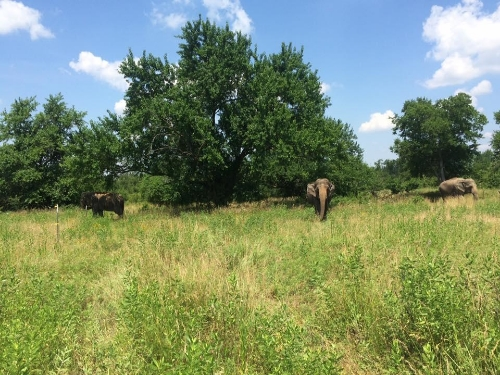 Elephants walking and foraging at the EAF in Oklahoma