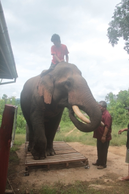 Bull with damaged tail with his mahout and owner