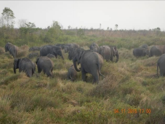 A herd of 15 Sumatran elephants including one calf observed by the ERU in November 2015