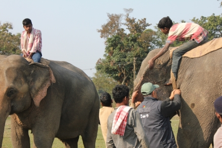 Dr. Kushal works on an elephant