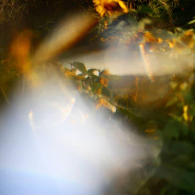 #sunflowerfarm  #branfordct #branford #ct #connecticut #prism #prismphotography  #outdoors #ctphotographer