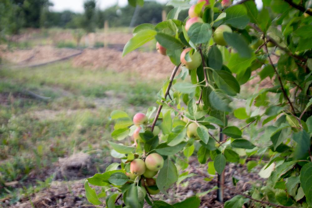 Apples 1.jpg