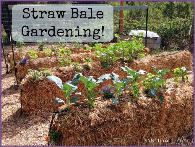 Straw bale gardening is an alternative to in-ground planting, and is inexpensive and easier to maintain. Jennifer Beirnes from Beirnes' Family Farm will discuss sourcing straw bales, conditioning them to prepare for planting, and how to grow both edible and ornamental plants in these unique raised beds.