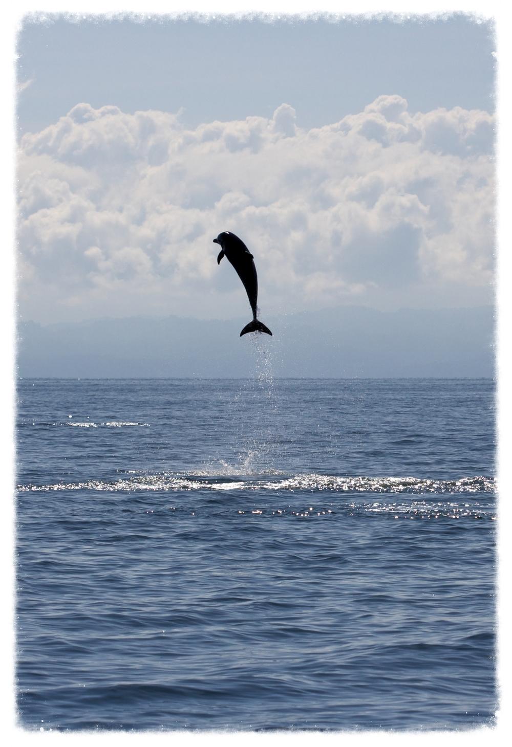 osa_dolphin2.jpg
