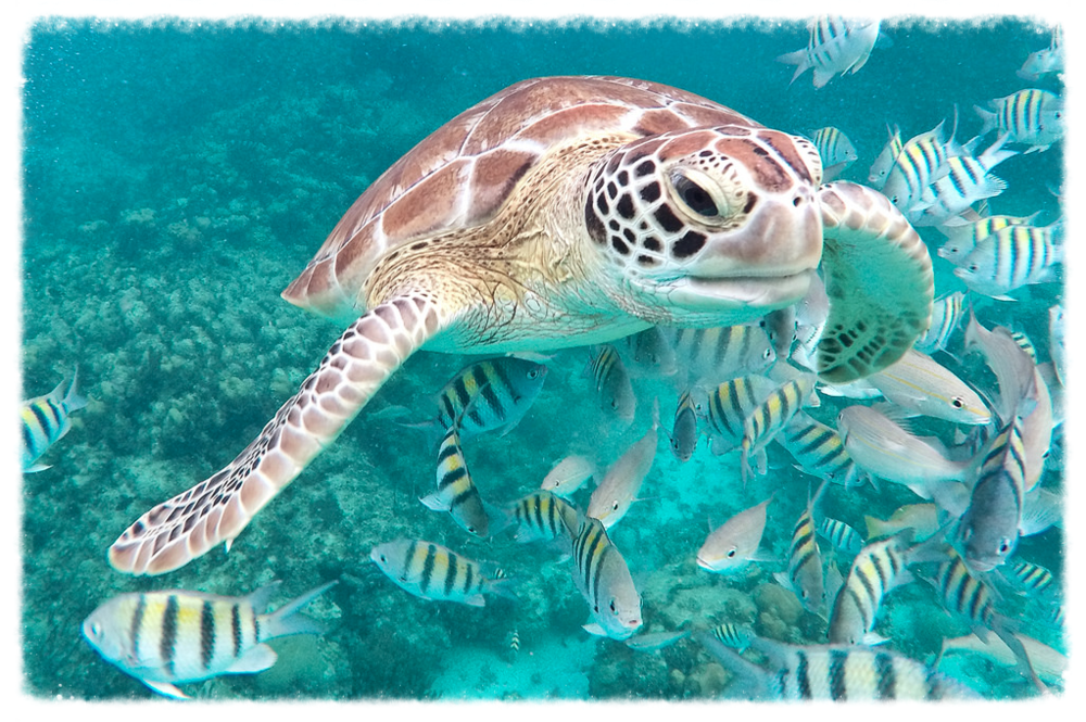 belize_turtle1.jpg