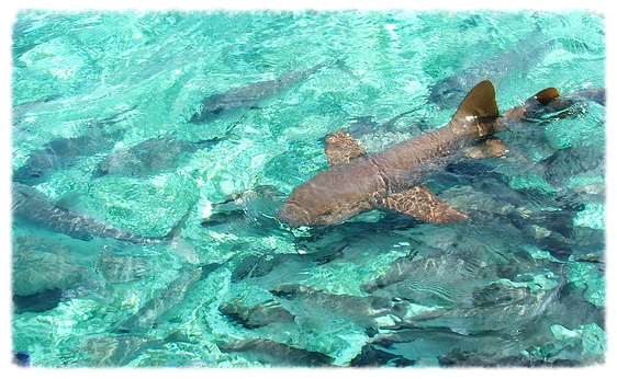 belize_shark2.jpg