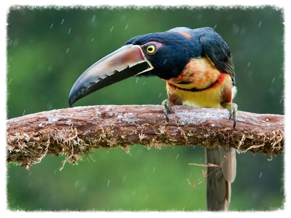 osa-toucan.jpg