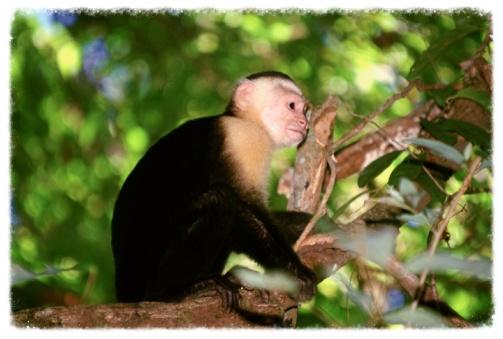 costa-rica-capuchin.jpg